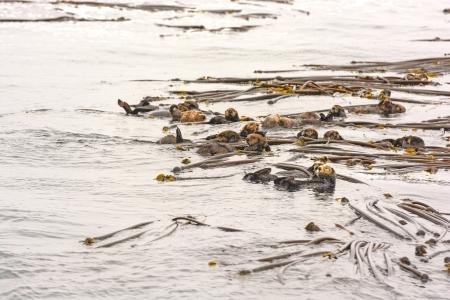A Raft of Sea Otters near Tofino on Vancouver Island Reklamní fotografie