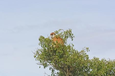 Patas Singe dans un arbre à Murchison Falls National en Ouganda Banque d'images - 24196506