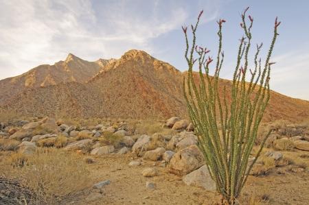 ocotillo: Ocotillo in the desert twilight in Anza-Borrego State Park in the California