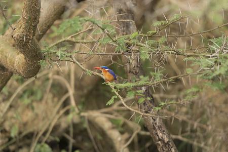 Malachite Kingfisher in Uganda Imagens