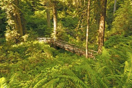 Hidden Bridge in Redwoods National Park photo