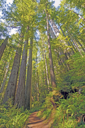 Shaded Trail Through the Redwoods in Redwood National Park photo