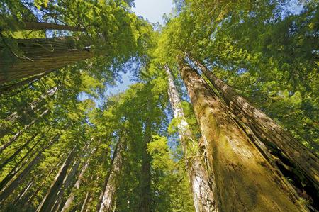 晴れたカリフォルニア州レッドウッド国立公園で