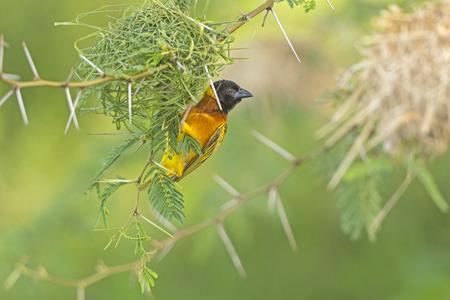 ウガンダの巣の上の織工の鳥
