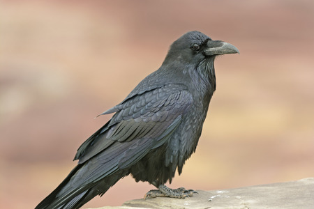 corax: Common Raven on a Rock Ledge in Petrified Forest National Park Stock Photo