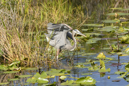 Great Blue Heron in the Everglades photo