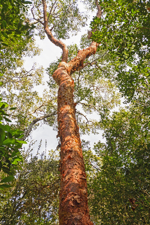 Gumbo-Limbo Tree in a hummock in the Everglades