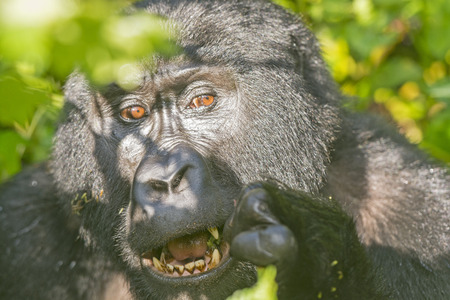 Mountain Gorilla eating in the Forest of Uganda Stock Photo