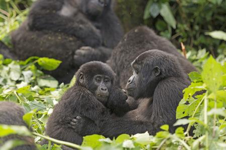 母と子ゴリラ ブウィンディ原生の突き通せない森林の