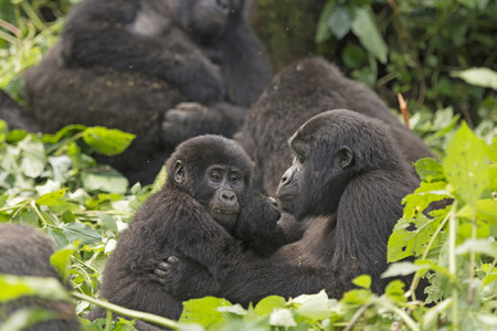Mother and Child Gorilla in the Bwindi Impenetrable Forest