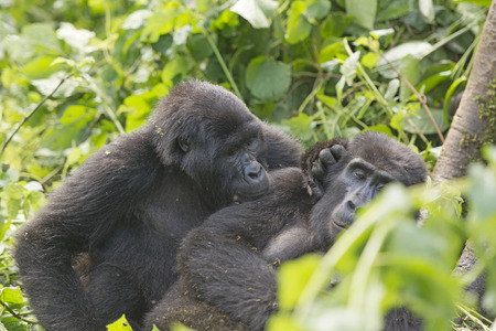 Mountain Gorilla Grooming another Gorilla in Bwindi Impenetrable Forest