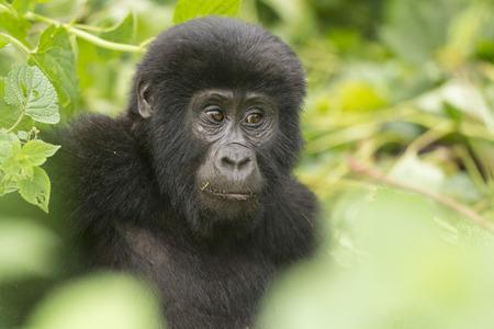 Jeune gorille de montagne dans la forêt impénétrable de Bwindi Banque d'images - 31033299