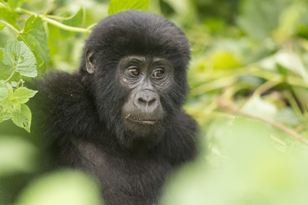 Young Mountain Gorilla in the Bwindi Impenetrable Forest
