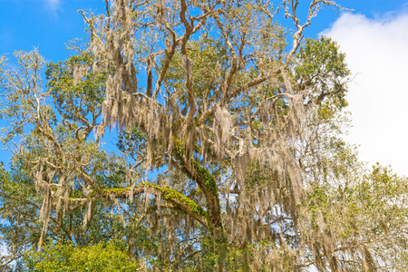 the deep south: Spanish Moss is a Southern Tree in Florida