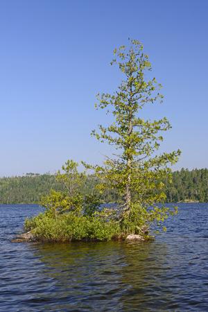 lone pine: Lone Pine en ese hombre lago en el desierto Quetico