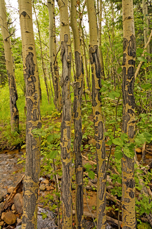 Unique Bark Patterns on Aspen in Rocky Mountain National Park Stock Photo