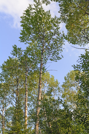 sioux: White Birch Trees Against the Sky in Sioux Narrows Provincial Park