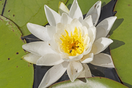 nymphaea odorata: White Water Lily on a Slate Lake in Quetico Provincial Park
