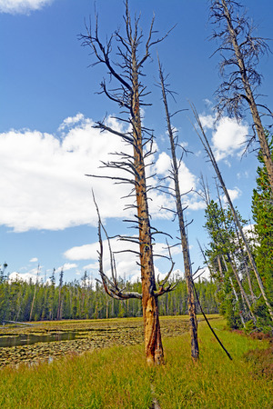 distinctive: Distinctive Tree Trunk by Ribbon Lake in Yellowstone National Park