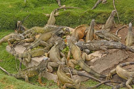 parque: Green Iguanas in a Parque Seminario in Guayaquil, Ecuador