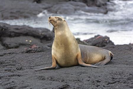 ガラパゴス アシカ フェルナンディナ島で溶岩のベッドの上