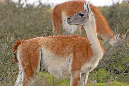 guanaco: Guanaco in the Patagonian Steppes of Chile