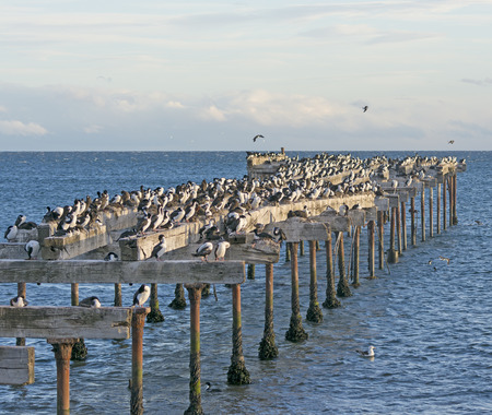 punta arenas: Abandoned Pier Inhabited by Cormorants on the Punta Arenas Waterfront