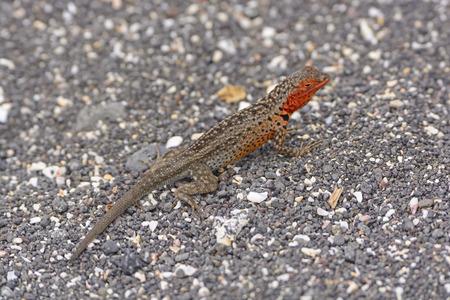 galapagos: Lava Lizard on Isabela Island in the Galapagos