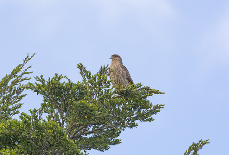 patagonian chile: Chimango Caracara in a tree in Torres del Paine National park in Patagonian Chile