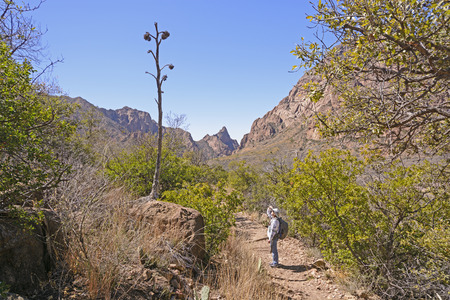 century plant: Hiker looking at the remains of a century plant stalk in Big Bend National Park in Texas