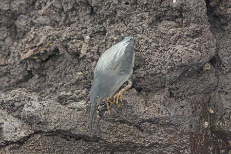 poised: Lava Heron Poised to Strike on Bartolome Island in the Galapagos