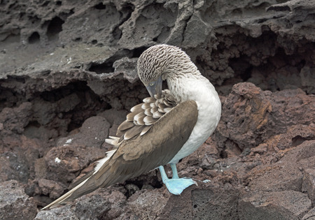 animal behavior: Blue-Footed Boobie Preening on the rocks of Batolome Island in the Galapagos