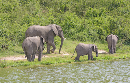 nile river: African Elephant Family Group along a the Kazinga Channel of the Nile River in Uganda