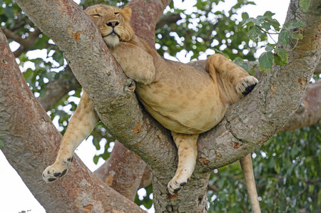 Young African Male Lion Asleep in a Tree in the Ishasha Region of Queen Elizabeth National Park in Uganda Stock Photo