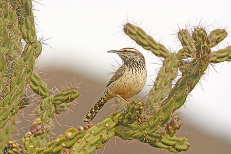 cholla cactus: Cactus Wren on a Cholla in the the Chisos Mountains in Big Bend National Park in Texas