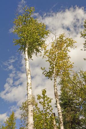 晴れた日に北の森で青空白樺の木 写真素材