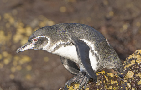bartolome: Galapagos Penguin Ready to Dive in the Ocean in Bartolome Island in the Galapagos
