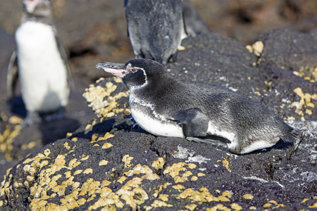 bartolome: Galapagos Penguin resting on the shore of Bartolome Island in the Galapagos Stock Photo