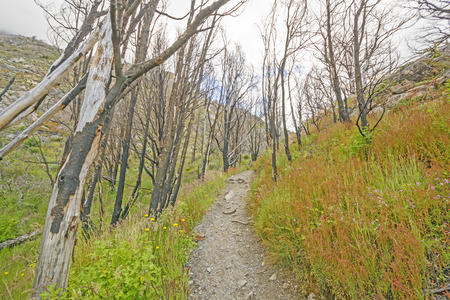 patagonian chile: Trail through a Fire Scarred Forest near the Grey Glacier in Torres del Paine National Park in Patagonian Chile