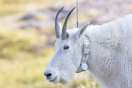 national animal: Mountain Goat with a Radio tracking Collar in Glacier National Park in Montana