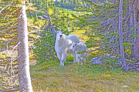 mountain goats: Mother and Baby Mountain Goats in a Shaded Glen Near Logan Pass in Glacier National Park in Montana
