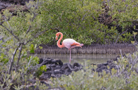 secluded: Flamingo Resting in a Secluded Coastal Lagoon in the Galapagos Islands