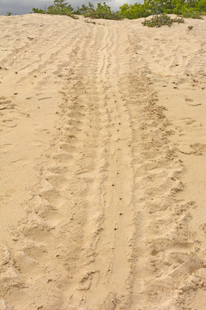 Trail of a Turtle after laying Its Eggs on Santa Cruz Island in the Galapagos