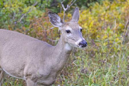 herbivore natural: Mule Deer in the Swiftcurrent valley of Glacier National Park in Montana