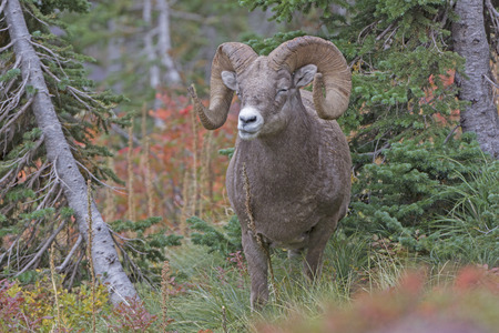rocky mountain bighorn sheep: Bighorn Sheep Chewing its Food in the Mountains in Glacier National Park In Montana