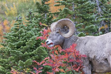 pecora: Bighorn Sheep Mangiare bacche in autunno nel Glacier National Park in Montana