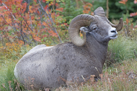 Full Curl Ram in the Wilds of Glacier National Park in Montana Stock Photo