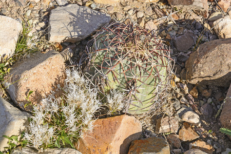 Turk's head cactus in the Texas Desert in Big Bend National Park