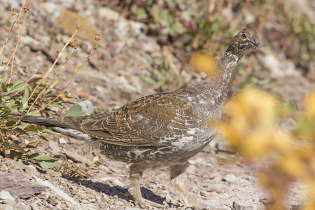 grouse: Sharp-Tailed Grouse in a Mountain Clearing in Glacier National Park in Montana