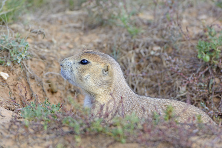 great plains: Black-tailed Prairie Dog Peeking out of its Burrow in Devils Tower National Monument in Wyoming
